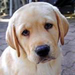 Labrador Pas http://www.vesti.rs/Vesti/Labrador-retriver