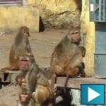 Najezda majmuna u Indiji