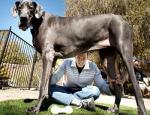 Grmalj Džordž najviši pas na svetu