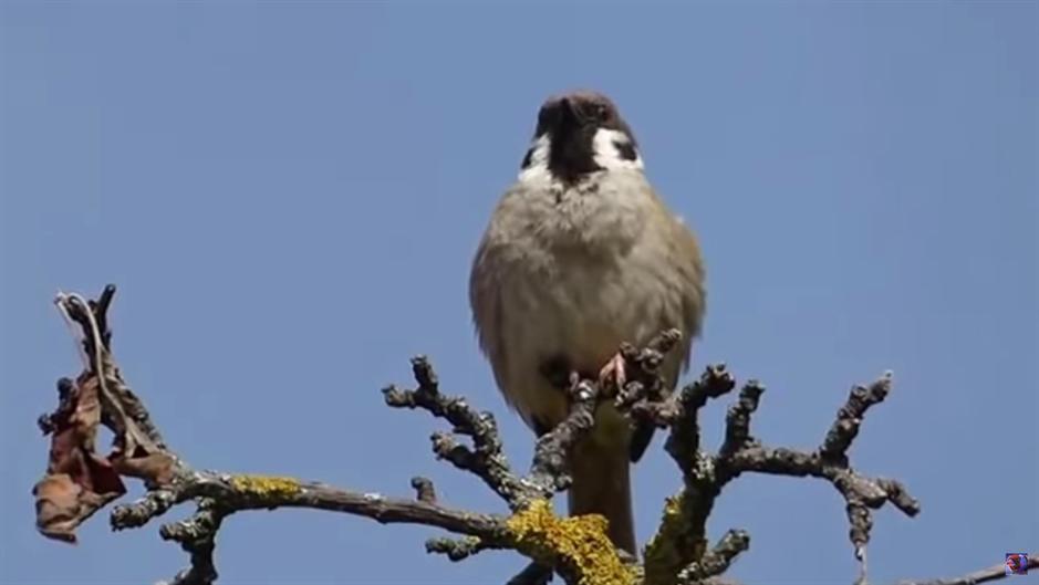 Međunarodni dan vrabaca - koliko ih živi u Srbiji?