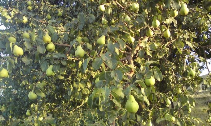 Ovo voće leči mamurluk
