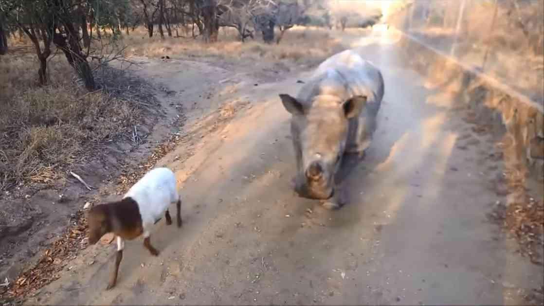 ZA DOBRO JUTRO: Mladi nosorog je ubeđen da je koza (VIDEO)