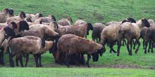 Za izvoz jagnjetine u Kinu nema ograničenja