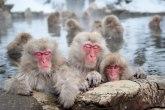 Japanski zoo-vrt uspavao 57 majmuna jer nisu čistokrvni