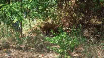 Lisica došla u kafić Podgorici (FOTO)