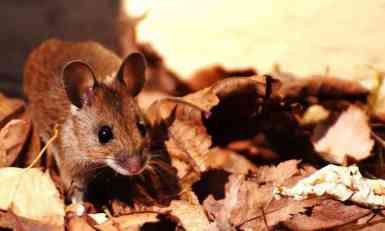 Nauka sve bliže rešenju - miševi daju nadu da će i čovek moći da stvara potomstvo u svemiru