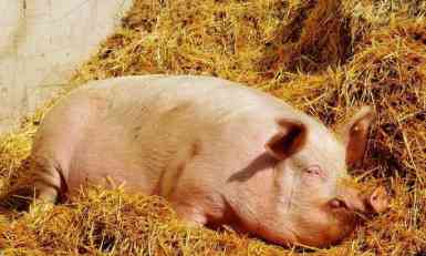 Pita se i srpski seljak: Hoće li mu Nemac vratiti svinje