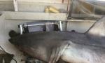 Ribaru u čamac uskočila bela ajkula duga 2,7 m