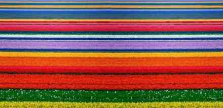 Snimci iz vazduha na polje lala u Holandiji: Prizori koji prikazuju svu divotu ove zemlje u najlepšem cvatu (FOTO) (VIDEO)