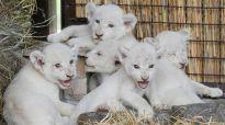 U Kijevu se rodilo pet mladunaca retke vrste belog lava