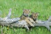 U Zoo vrtu u Jagodini rođene dve sive kanadske vučice