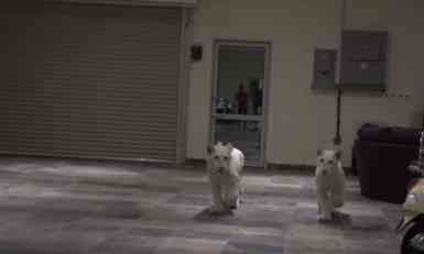 VIDEO: Njegove skupe automobile čuvaju beli lavovi