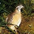 Sprečeno krijumčarenje 700 ptica na prelazu Neštin