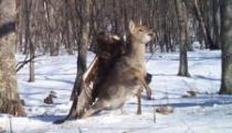 Pogledajte trenutak kad je orao uhvatio mladog jelena