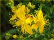 Tri biljke za živce