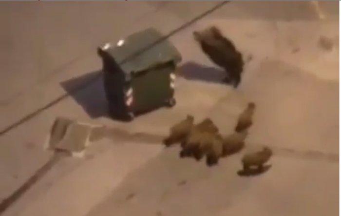 Дивље свиње вршљају по Новом Београду (видео)