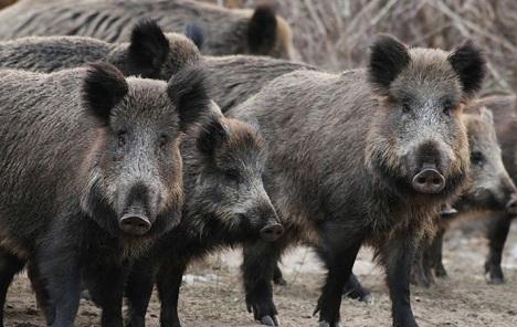 Afrička kuga kod divljih svinja u Pirotu i okolini Kladova