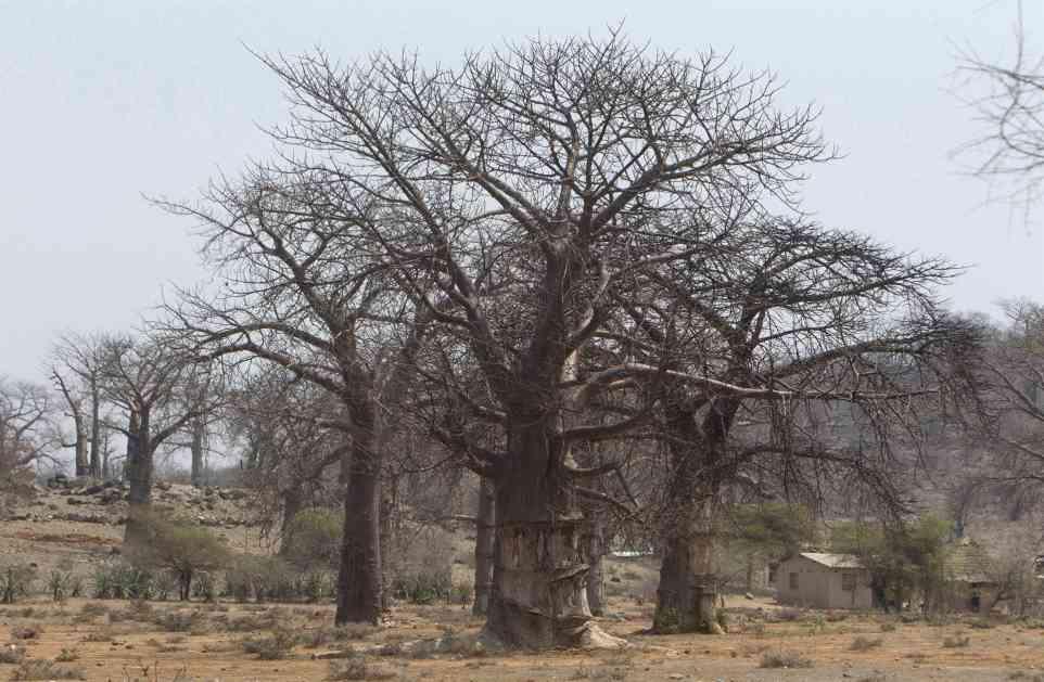 Afričko staro baobab drveće izumire alarmantnom brzinom