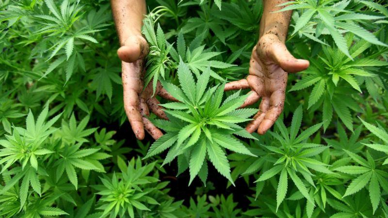 Agencija UN-a uklonila kanabis i smolu kanabisa iz kategorije najopasnijih narkotika