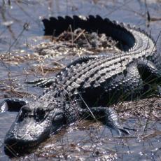 Aligator napao američku MORNARIČKU BAZU: Pogledajte kako je UPORNI REPTIL savladao ogradu od dva metra (VIDEO)
