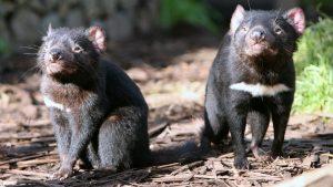 Australija i životinje: Borba za opstanak – kako je tasmanijski đavo zbrisao koloniju patuljastih pingvina