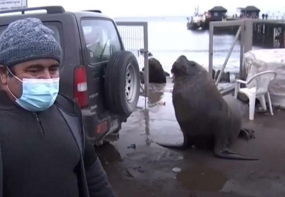 BEŽI KUGO JEDNA! Morski lav upao na intervju o morskim lavovima VIDEO