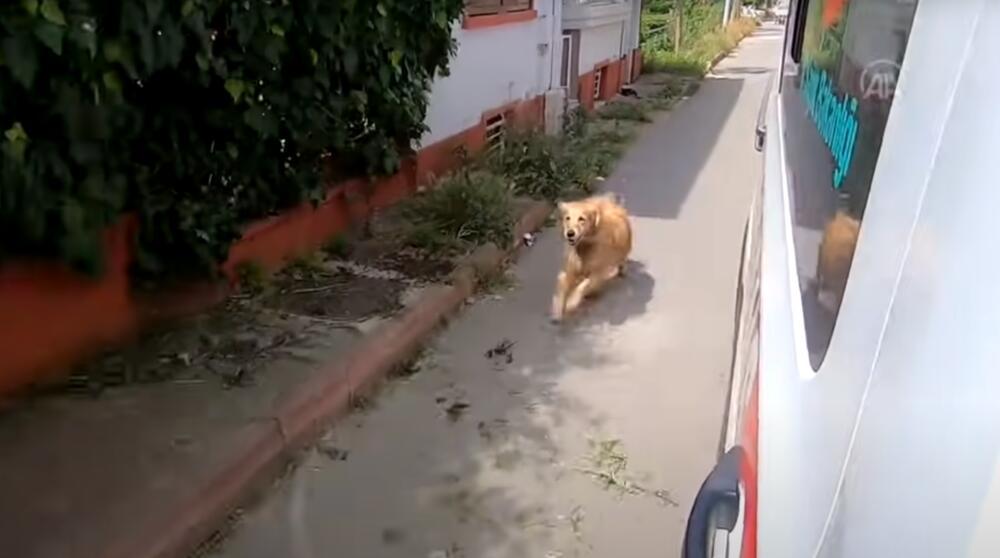 BEZUSLOVNA LJUBAV: Pas nije hteo da napusti vlasnicu, trčao je za vozilom hitne pomoći sve do bolnice VIDEO