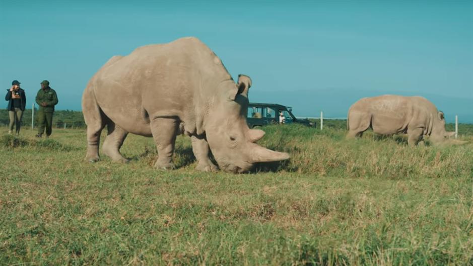 BORBA za spas belog nosoroga: Oplodiće surogat ženku