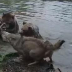 BRUTALNA SCENA U ZOO VRTU: Medvedi rastrgli vučicu pred šokiranom decom, čopor pokušao da je spase (UZNEMIRUJUĆI VIDEO)