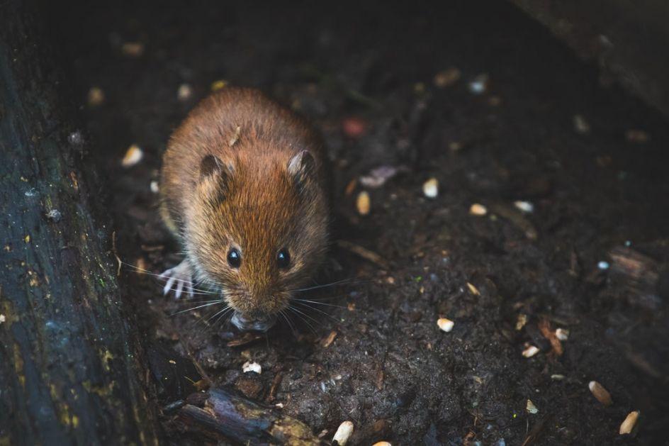 Bakić: U Crnoj Gori tri slučaja mišje groznice od početka godine