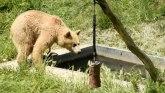 Balkan, životinje i vrućina: Dvogodišnji meda iz Prištine zvezda Instagrama - traži spas od žege