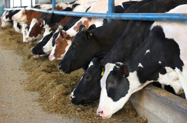 Isplati li se mlekarstvo u Srbiji? Bavim se ovim poslom 25 godina, nikad bolje nije bilo
