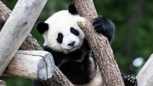 """Beba panda iz zoo vrta u Vašingtonu dobila ime """"Malo čudo"""""""