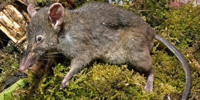 Bez pristupa hrani, pacovi agresivni jedni prema drugima