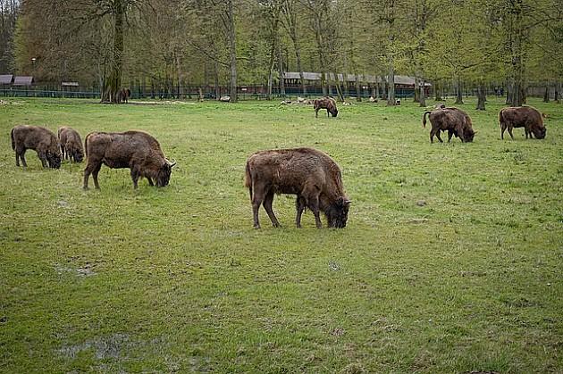 Bizoni i jeleni lopatari uskoro nadomak Novog Sada