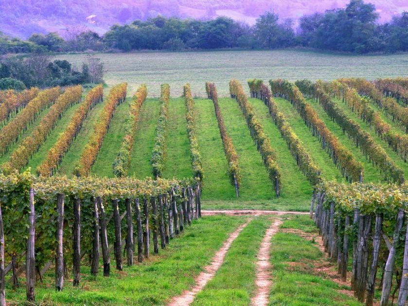 Renesansa autohtonih sorti vina