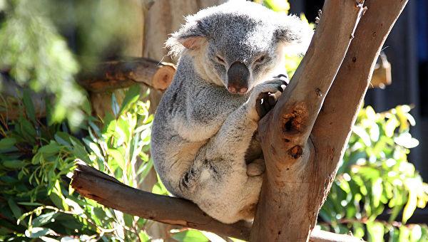 Broj koala u divljini u velikom padu