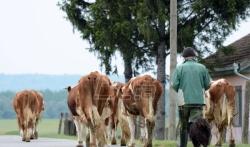 Bulatović (SSP): Tražimo hitne mere za opstanak govedarstva