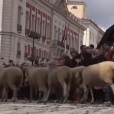 CENTAR MADRIDA ZAUZELE OVCE! Evo o čemu se radi! (VIDEO)