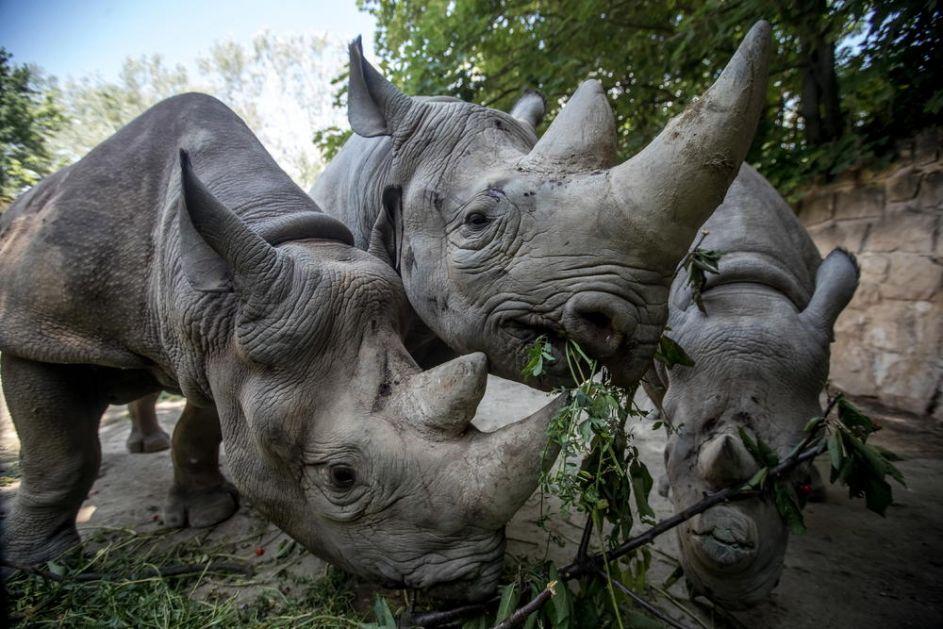 ČETIRI PUTA VEĆI OD SLONA, TEŽAK 24 TONE U Kini pronađeni fosili nosoroga koji je bio viši od žirafe