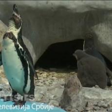 ČUDO U BEOGRADSKOM ZOO VRTU! Izlegao se pingvin, OVO je prava retkost koju mogu videti posetioci