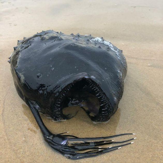 ČUDOVIŠTE KAO SA DRUGE PLANETE: Riba sa šiljatim zubima i hvataljkom na glavi, sa ogromnih dubina isplivala na plažu u Kaliforniji