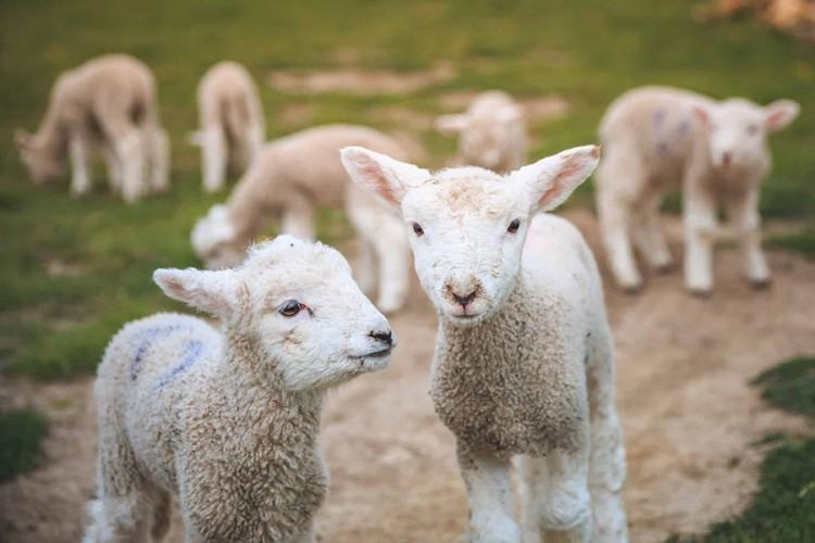 Carinici zaplijenili jagnjad, med i đubrivo