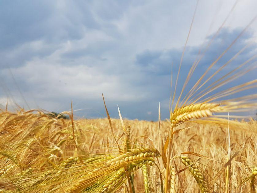 Cene žitarica u blagom padu, promet opao više