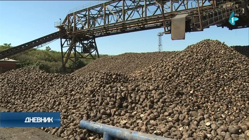 Četrdeset hiljada  hektara za šećernu repu (AUDIO)