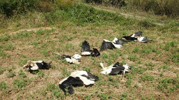 Četrdeset ptica stradalo  kod Paraćina