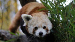 Crvena panda: Mužjak ugrožene vrste pobegao iz zoo vrta u Francuskoj