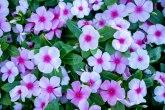 Cvet vinka: Otporna na štetočine, ne zahteva preteranu negu