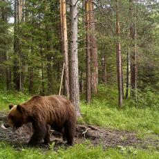 DA LI VI U VAŠEM MALINJAKU IMATE OVAKVO OBEZBEĐENJE? Malinare i njihovo crveno zlato kod Kopaonika od lopova čuva medved