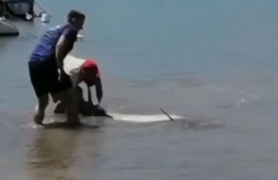 DELFIN SE NASUKAO U VELOJ LUCI: Verovatno se izgubio, ribari ga spasli VIDEO